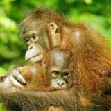 Orangutangen er blandt de talrige dyrearter, der er voldsomt truet af menneskers indhug i natur og levesteder.