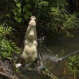 En krokodille reagerer på spyddet med nålen, der har taget en vævsprøve af den.