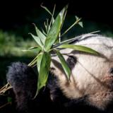 Pandaen Xing Er og dens nye anlæg vises frem for pressen i Zoologisk Have i København, 10. april 2019, da dronning Margrethe og Zoos nye protektor, kronprinsesse Mary, åbnede Pandaanlægget.