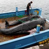 Japan har i årevis undladt at fange hvaler til kommercielt brug – men hvalfangst er fortsat i mindre grad, da hvalerne kunne fanges til »videnskabelige formål« uden at bryde de internationale regler.