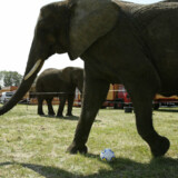 Politisk aftale om cirkuselefanter er endnu ikke mundet ud i en vedtaget lov, og derfor er det uklart, hvordan Cirkus Arena skal kompenseres for det tab, et forbud medfører, og for de penge, cirkusset har brugt på at etablere deres elefantanlæg. (Arkivfoto). Henning Bagger/Ritzau Scanpix