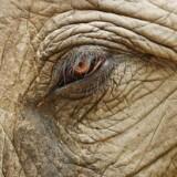 »Der er et absolut politisk flertal for et forbud mod vilde dyrs optræden i omrejsende cirkus. Det retter sig mod tre dyrearter: Elefanter, søløver og zebraer. De to sidstnævnte er der fundet en løsning for, men ikke for elefanterne,« skriver Michael Møllgaard.