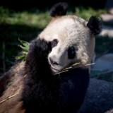 Pandaen Xing Er og dens nye anlæg blev vist frem for pressen i Zoologisk Have i København 10. april i år.