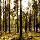 »Man kan ofte få den opfattelse, at vi kan minimere fremtidige klimaskader, hvis blot vi får sat en stopper for anvendelsen af fossile energikilder. Men mere skal til, og skov er her en vigtig del af klimaløsningen gennem CO2-lagring,« skriver Jørgen Bo Larsen, Sebastian H. Mernild og Jørgen Nimb Lassen.