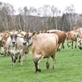 Lammekød er den største klimasynder. Herefter kommer hummer og på en tredjeplads oksekød, hvis man medregner både produktion, forarbejdning og transport, indtil varen ligger i supermarkedet.