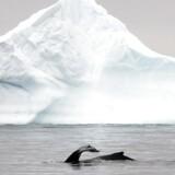 Amerikanske forskere er nået frem til, at havisen næppe vokser lige så hurtigt i disse år, som vurderingen hidtil har været.