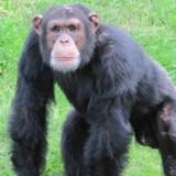 Den 20-årige chimpanse Ricardo er druknet i Odense Zoo, efter en konflikt med resten af flokken. Chimpanser bliver normalt op til 50 år i fangenskab.