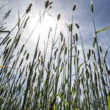 Et usædvanligt varmt forår efterlader kornmarkerne tørre, og det resulterer i lille og historisk tidlig høst.