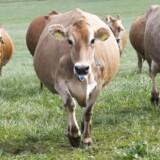 Økologiske køer bliver lukket ud på græs