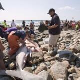 Forskere undersøger liget af en stor hvid haj, der er skyllet op på kysten af den amerikanske østkyststat Rhode Island. Billedet er fra 2012. Det var en haj på omkring 800 kilo. Reuters/Scott Eisen