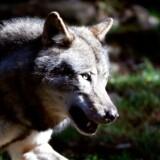 ARKIV. En 26-årig mand blev tirsdag aften ifølge eget udsagn bidt af et dyr, der beskrives som »ulvelignende«.