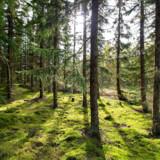 »Når træet brændes af øges indholdet af CO2 i atmosfæren med det samme, medens det tager mange år, før det optages af det nye træ,« skriver Michael Broberg Palmgren.