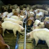 I 2018 blev ti procent af svinebesætningerne kontrolleret. Fødevareministeren vil endnu ikke sætte tal på, hvor mange det skal være i fremtiden. Langt de fleste politianmeldelser blev givet for, at syge eller tilskadekomne dyr ikke fik den fornødne pleje eller behandling. (Arkivfoto). Henning Bagger/Ritzau Scanpix