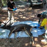 Dyrlæger forbereder sig her på at obducere den døde hjort i Khun Sathan National Park i Thailands Nan-provins. Det viste sig, at hjorten havde slugt syv kilo plastikposer og andet skrald. Handout/Ritzau Scanpix