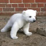 Isbjørneungen Knut, som ses på billedet, opnåede på rekordtid stjernestatus, fordi han var den første isbjørneunge i Berlin Zoo i Tyskland i 33 år. Knut døde i 2011 kun fire år gammel, da den pludselig fik et anfald grundet en hjernebetændelse. (Arkivfoto).