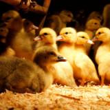 Det var Anima, der begyndte dette års udgave af den nationale foie gras-debat. Dyrevelfærdsorganisationen og deres følgere fik Torvehallernes chef til at opfordre stadeholderne til at lade være med at sælge foie gras.
