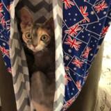 Newzealænderen Lara Mackay har som hundredvis af andre produceret en form for pung, som nødstedte australske dyr kan ligge i. På billedet her er det hendes kat, der tester en af hendes produktioner. Social Media/Reuters
