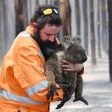 En brandmand redder en koala ud af en brændende skov på Kangaroo Island i Australien. Ca. 25.000 koalaer menes omkommet i flammer på øen.