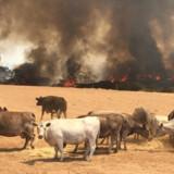 Skovbrande har hærget Australien gennem flere måneder. På landsplan er 26 personer døde i brandene, og 103.000 kvadratkilometer land er brændt ned. Paul''s Place Wildlife Sanctuary/Reuters