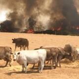 Omkring 100.000 stykker kvæg frygtes omkommet i denne sæsons australske naturbrande. På Kangaroo Island (billedet) er over en tredjedel af øen nedbrændt, og cirka 25.000 koalaer menes at være blevet flammernes bytte.