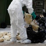 Der er konstateret fugleinfluenza flere steder i Europa. Her ses aflivede fugle i Hongkong ved et udbrud af fugleinfluenza.