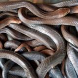 Giftige kobraslanger som disse blev solgt på markedet for fisk og levende dyr i Wuhan, hvorfra smitten efter alt at dømme spredte sig til mennesker. Meget peger på, at giftslanger var det sidste værtsdyr for den frygtede virus, før den smittede mennesker.
