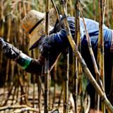En kvinde høster sukkerrør i Brasilien. Prisen på råsukker er steget kraftigt de seneste måneder.