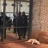 En hund ses foran et grænsefængsel i Brasilien, som også er kendt for at være hærget af fængselsbandet. Der er dog ikke tale om et af de fire fængsler, hvorfra der har været fangeflugt. (Arkivfoto.) Gabriel Stargardter/Reuters