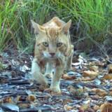 I Australien er katte godt i gang med at smadre det naturlige økosystem – blandt andet ved at stjæle mad fra landets 'oprindelige' indbyggere: Slangerne.