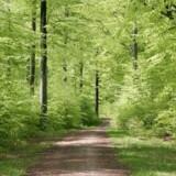 Liberal Alliance vil sælge ud af statens skove, som her Grib Skov i Nordsjælland. Arkivfoto:Scanpix