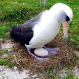 (ARKIV) Wisdom, a Laysan albatross, at least 66 years old and the world's oldest known breeding wild bird incubates her egg in Midway Atoll National Wildlife Refuge and Battle of Midway National Memorial, Hawaii, U.S. on December 3, 2016. Courtesy Kristina McOmber/Kupu Conservation Leadership Program & USFWS/Handout via REUTERS ATTENTION EDITORS - THIS IMAGE WAS PROVIDED BY A THIRD PARTY. EDITORIAL USE ONLY.