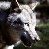 ARKIVFOTO.En ulv gik tirsdag morgen ind i en skolegård, men eleverne på skolen lod sig ikke skræmme og jagede den væk.