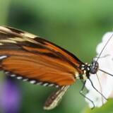 For første gang siden 2010 har forskere beskrevet en ukendt sommerfugleart fra Danmark. De har givet arten navnet Anarsia innoxiella. Sommerfuglen på billedet er af en anden art, da arkivet ikke ligger inde med billeder af det, man hidtil har troet var et møl. Scanpix/Brian Bergmann