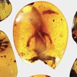 Fossiler af flere forhistoriske krybdyr er blevet fundet i disse ravklumer i det sydøstlige Asien. Ifølge forskere fra Florida Museum of Natural History indeholder en af klumperne et 99 millioner år gammelt firben.