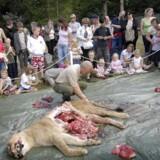 Her dissekerer Odense Zoo en løve i 2008.