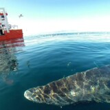 New research shows that the Greenland Shark can live to be over 272 years old and possibly much older.
