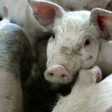Den omdiskuterede dyrevelfærdsmærkning af dansk svinekød kan ifølge notat sikre eksport til svenskerne, der i stigende grad dropper dansk svinekød. Men det synes at være en næsten uoverkommelig opgave. (Foto: Henning Bagger/Scanpix 2015)