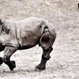 Arkivfoto: En næsehornsunge er mandag formiddag kommet til verden hos Københavns Zoo.