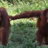 En dyrerettighedsorganisation har fået rettens ord for, at en 29-årig argentinsk orangutang i en zoologisk have har menneskelige træk, og at den derfor ikke kan holdes indespærret.