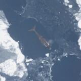 Grønlandshvalen er ekspert i at navigere igennem is.