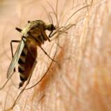 65 procent af de 4.300 myg i forsøget foretrak de ølduftende mænd.