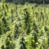 227 borgere har indtil videre indløst i alt 411 recepter på cannabis, som er omfattet af ny forsøgsordning.