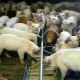 Landbrug & Fødevarers nye selskab, Danavl, vil få monopol på salg af svin til avl, mener et privatejet firma i branchen. Arkivfoto: Henning Bagger