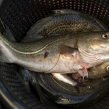 Arkivfoto. Fiskere skal stoppe for al fiskeri i Østersøen, hvis de ikke overholder grænsen for bifangst af torsk.