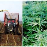Fremover skal de danske marker være fyldt med hamp, og landmændene skal være med til at gøre det til en stor industri herhjemme. Det mener flere partier på Christiansborg, der nu ser en forretningsmæssig fordel i, at medicinsk cannabis bliver lovliggjort.