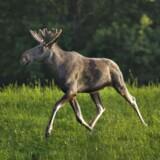 Elge kan være på vej til Danmark. Denne elg er dog norsk.