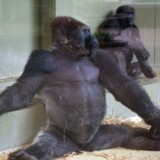 Samson fotograferet i 1998, kort før flytningen fra Københavns Zoo til Givskud.