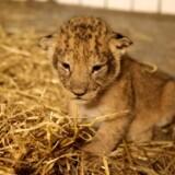 Løveungerne er en del af to kuld på ni i alt.