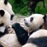 To pandaer fra Chengdu i Kina flytter ind i Zoologisk Have København. De skal bo i et nyt anlæg tegnet af BIG - Bjarke Ingels Group, som forventes færdigbygget i 2018.