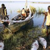 Retssagen mellem nomadestammer i det nordlige Kenya og det internationale konsortium Lake Turkana Wind Power om påstået land grabbing har ikke opsættende virkning. Opførelsen af den største vindpark i Afrika fortsætter ufortrødent. Vindparken leverer strøm fra 2017. Arkivfoto: Goran Tomasevitc /Reuters